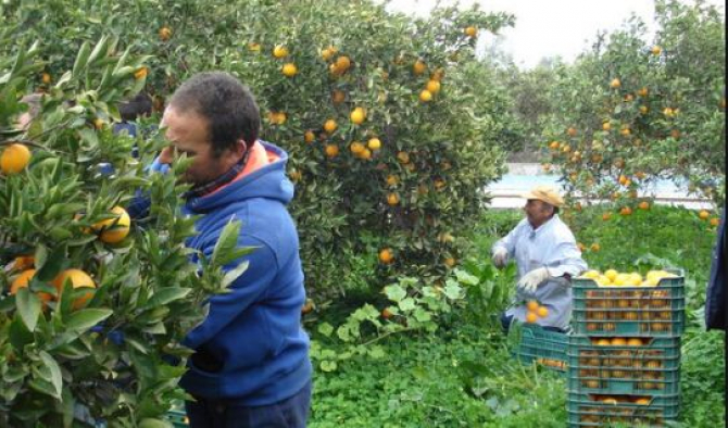 culegatori_portocale