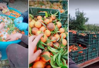 """Italia. Mandarine spălate cu """"șampon de vase"""". Românii angajați la livadă: """"Ia uitați ce cumpărăm din piață"""""""