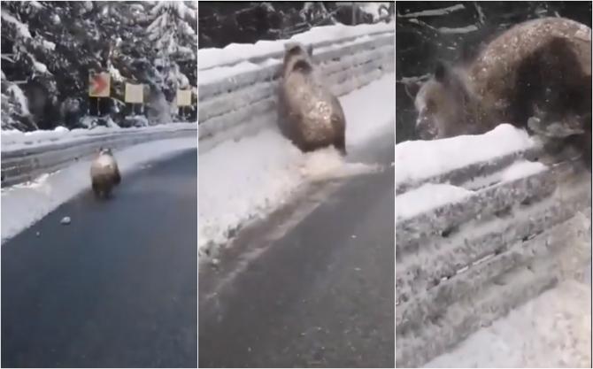 Urs fugărit cu mașina la Târgu Secuiesc. Imagini revoltătoare
