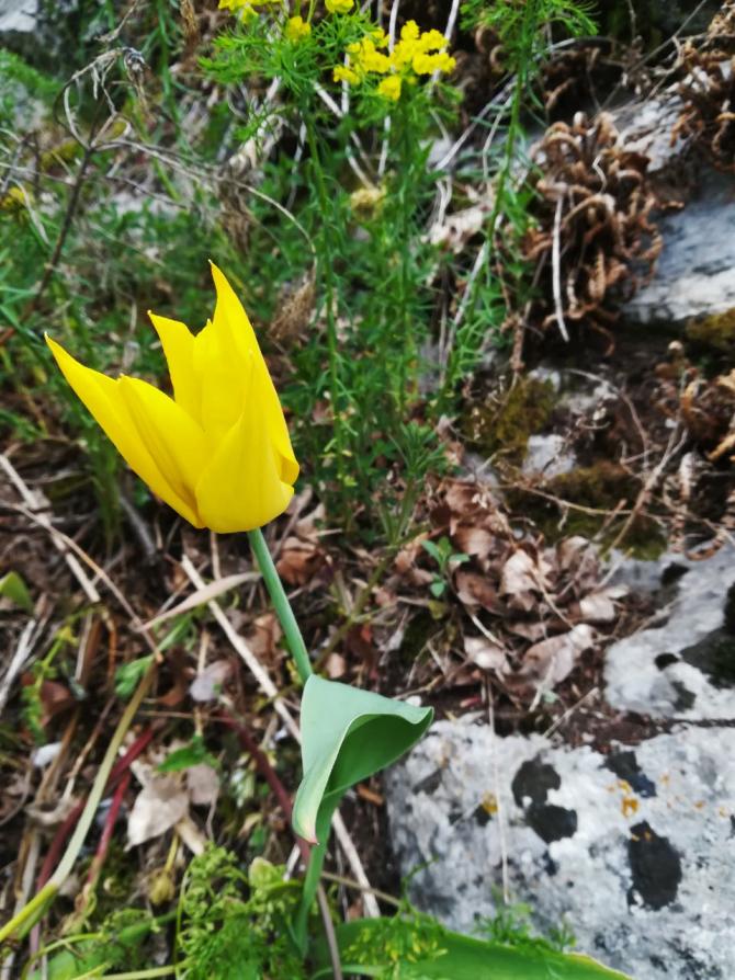 laleaua-de-cazane-floare-unica-in-lume