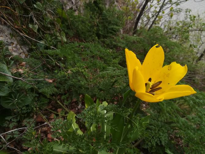 Laleaua de Cazane, o floare unică în lume (Foto: Romsilva)