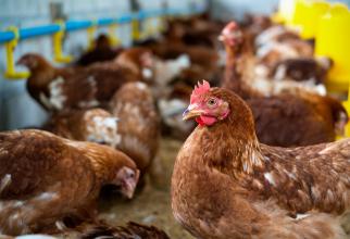 Focar de gripă aviară în România: Comerţul ambulant cu păsări, suspendat 30 de zile