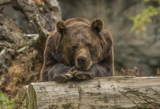 """Şeful Gărzii Naţionale de Mediu: """"Avem suspiciuni de braconaj în cazul uciderii ursului din Covasna"""""""