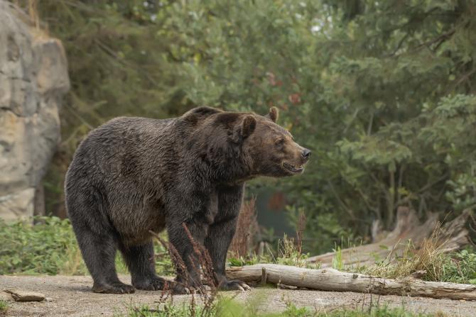 Cel mai mare urs din UE, omorât de un prinț austriac în Covasna