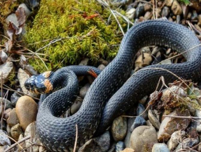 Un șarpe de 150 de centimetri, descoperit într-o casă din Craiova