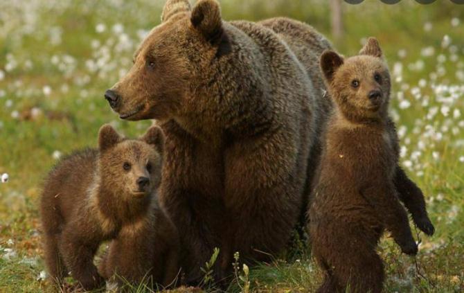 O ursoaică cu pui a intrat în bucătăria unei case, în Băile Tuşnad. Proprietara s-a baricadat în cameră