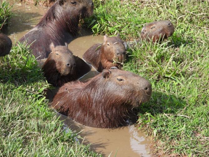 Sute de răzătoare capibara au invadat un cartier de lux din Bunenos Aires.