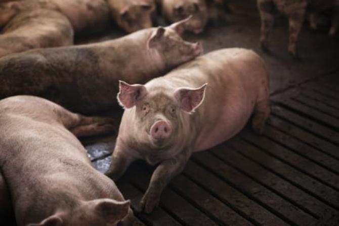 Focar de pestă porcină la o fermă din Olt. 30.000 de porci vor fi sacrificați