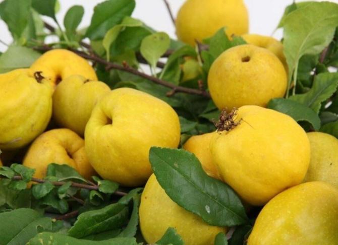 Gutuile, leac pentru inimă şi ficat. Șapte motive pentru care poti considera gutuia un fruct minune