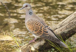 Belgia. Un ROMÂN a FURAT porumbei în valoare de 600.000 EURO
