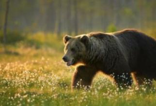Doi români, la un pas să fie desfigurați de un urs