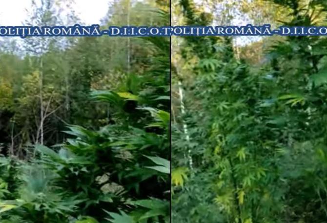 Doi români, au pus la cale o afacere ilegală. Cultivau cannabis pe diferite terenuri neamenajate