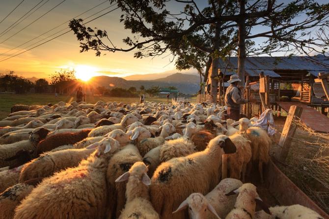 Un român din Italia, prins în flagrant  când fura o turmă de oi. Bărbatul a avut trei complici